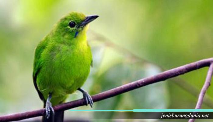 Jenis Burung Cucak Hijau