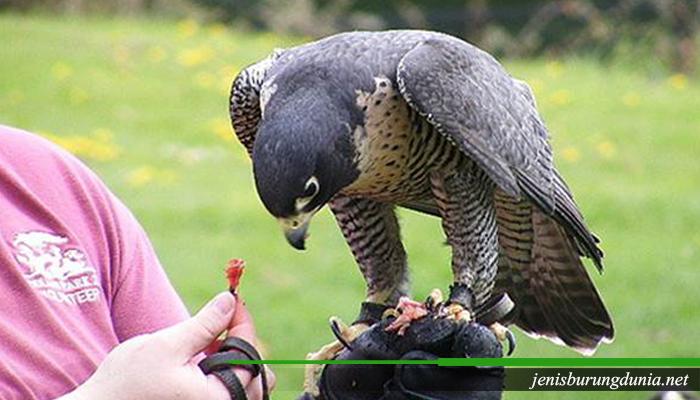 Jenis burung Alap-alap kawah