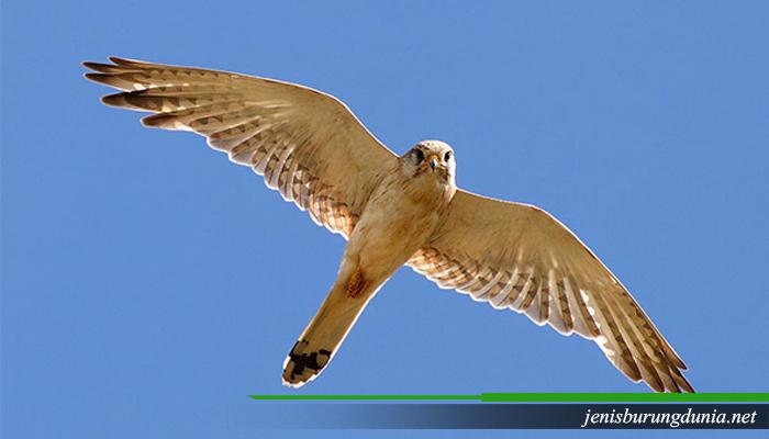 Jenis burung Alap-alap layang