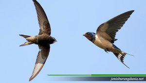Jenis burung Alap-alap walet