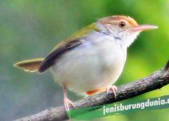 Burung Ciblek/Prenjak