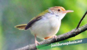 Burung Ciblek Prenjak