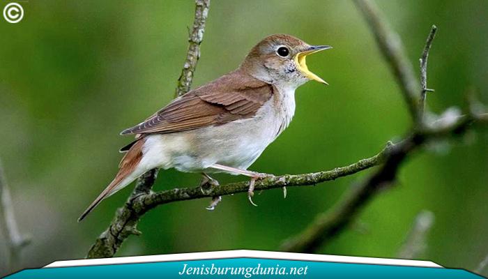 Jenis Burung Sikatan Aceh