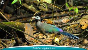 Jenis Burung Tokhtor Sumatera