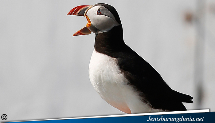 jenis burung Atlantic Puffin
