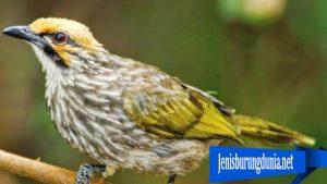 Cara Merawat Burung Cucakrowo