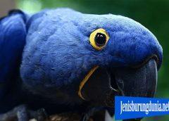 Burung Hyacinth Macaw