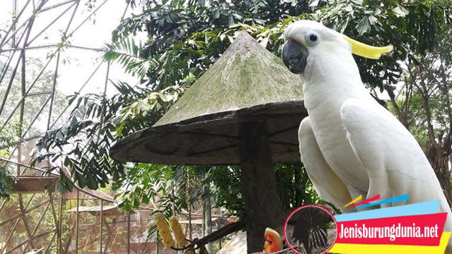 Fakta Burung Kakatua Jambul Kuning Yang Genit