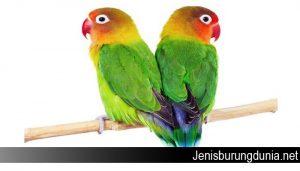 Ciri Lovebird Jantan