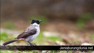 Pemahaman Dan Cara Merawat Burung Kutilang