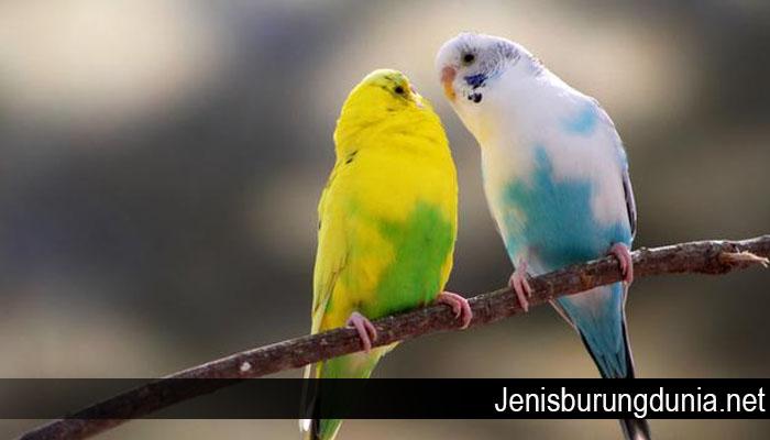 Tips Merawat Burung Kenari Agar Memiliki Suara Indah