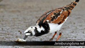 Mengenal Sosok Burung Trinil Pembalik Batu