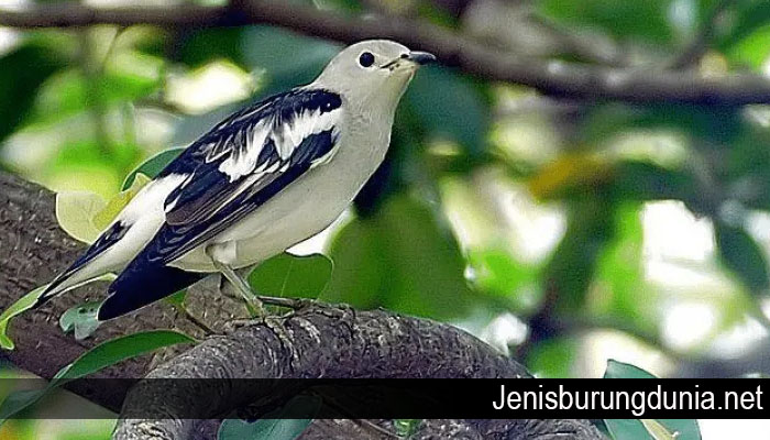 Tips Cara Membedakan Burung Jalak Sutra Jantan Dan Betina