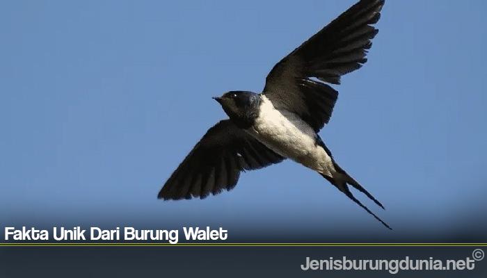 Fakta Unik Dari Burung Walet