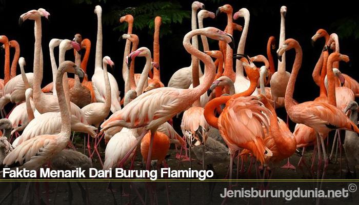 Fakta Menarik Dari Burung Flamingo