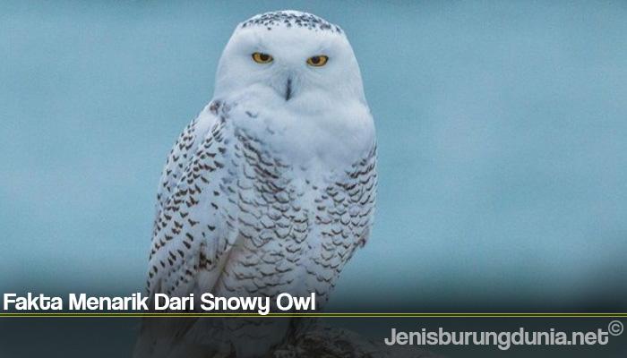 Fakta Menarik Dari Snowy Owl