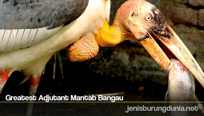 Greatest Adjutant Mantab Bangau