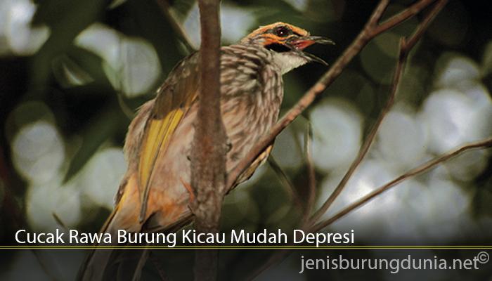 Cucak Rawa Burung Kicau Mudah Depresi