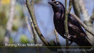 Burung Kicau Nokturnal