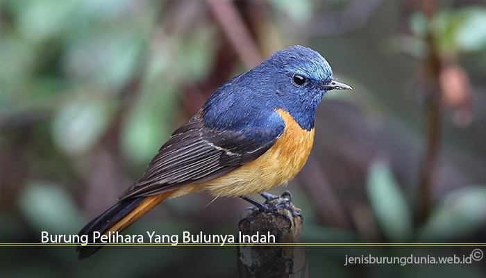Burung Pelihara Yang Bulunya Indah
