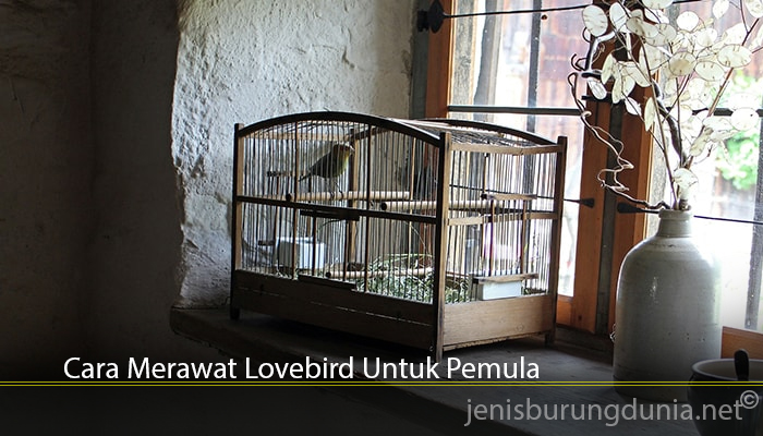 Cara Merawat Lovebird Untuk Pemula