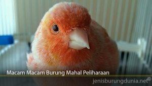 Macam Macam Burung Mahal Peliharaan