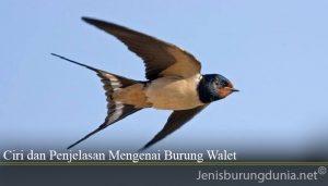 Ciri dan Penjelasan Mengenai Burung Walet