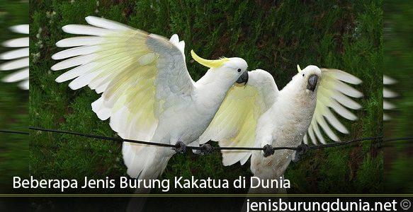 Beberapa-Jenis-Burung-Kakatua-di-Dunia