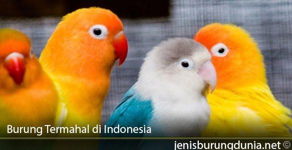 Burung-Termahal-di-Indonesia