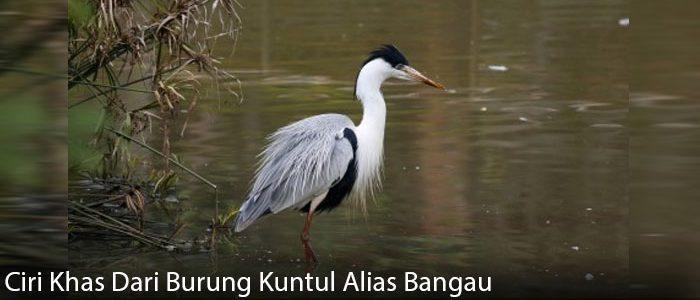 Ciri Khas Dari Burung Kuntul Alias Bangau