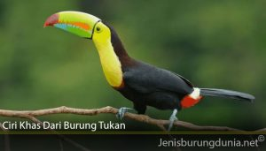 Ciri Khas Dari Burung Tukan