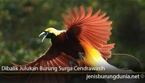 Dibalik-Julukan-Burung-Surga-Cendrawasih