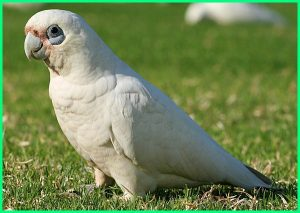 Little-Corella