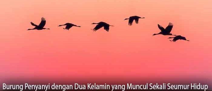 Burung Penyanyi dengan Dua Kelamin yang Muncul Sekali Seumur Hidup