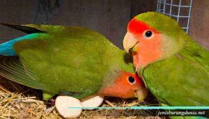 Fakta tentang LoveBird