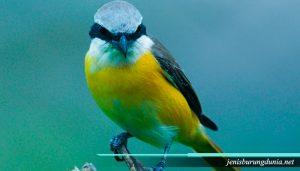 Fakta tentang burung Cendet
