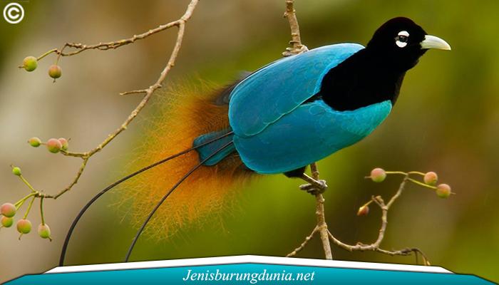 Jenis Burung Cenderawasih Biru