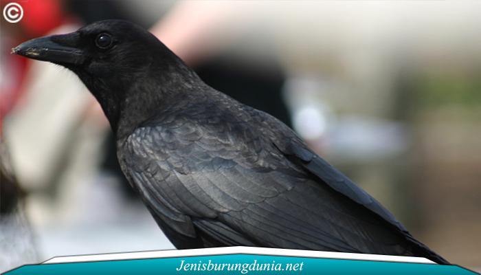 Jenis Burung Gagak Banggai