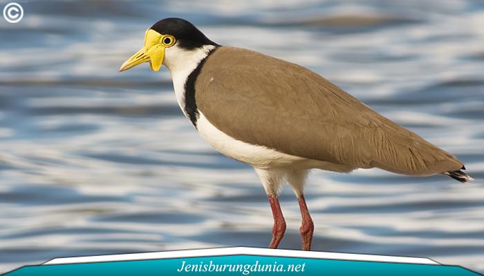 Jenis Burung Trulek Jawa