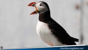 jenis burung Atlantic Puffin