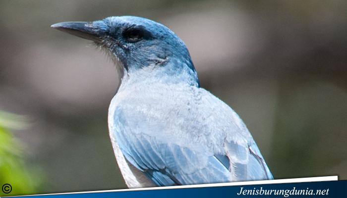jenis burung Blue Jay