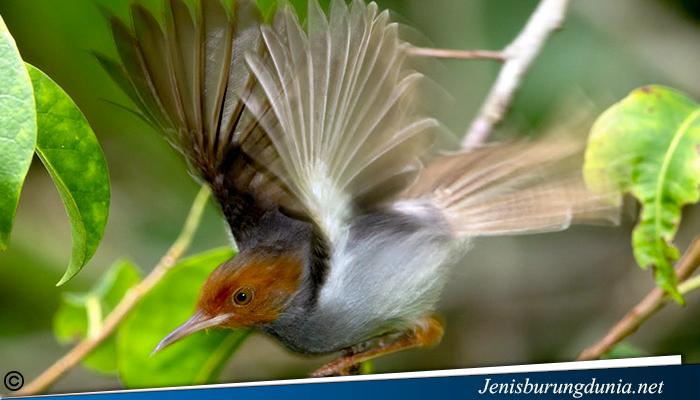 jenis burung Prenjak Kepala Merah