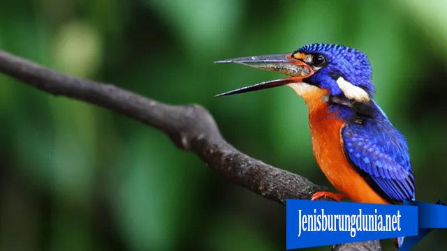Burung Kingfisher