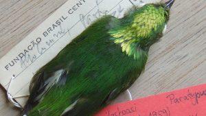 Burung Manakin Makotah Emas