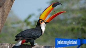 Burung Toco Toucan