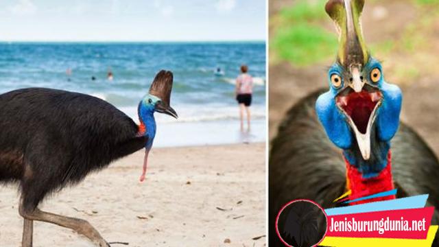 Kisah Pemilik Yang Meninggal Karena Burung Kasuari