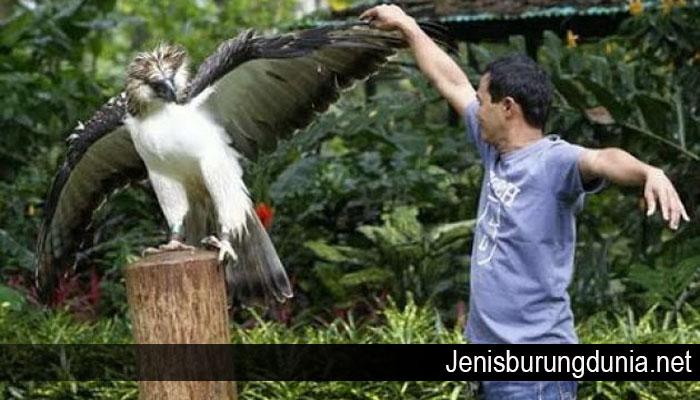 Cara Menjinakan Dan Merawat Burung Elang Dengan Mudah