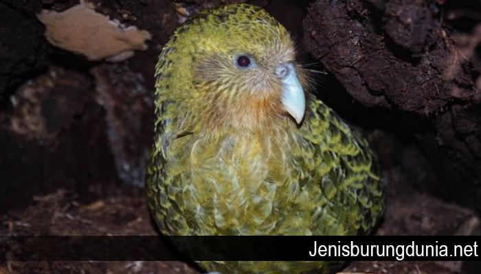 Kakapo Spesies Burung Beo Tergemuk di Dunia Terancam Punah