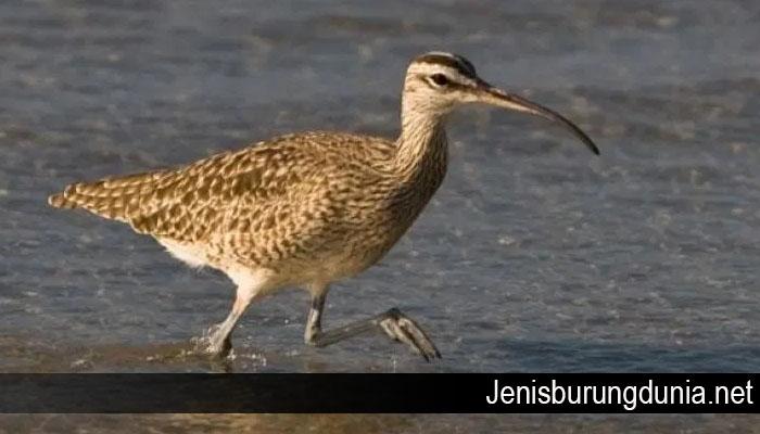 Beberapa Burung dari Rusia Ini Pernah Bermigrasi ke Indonesia