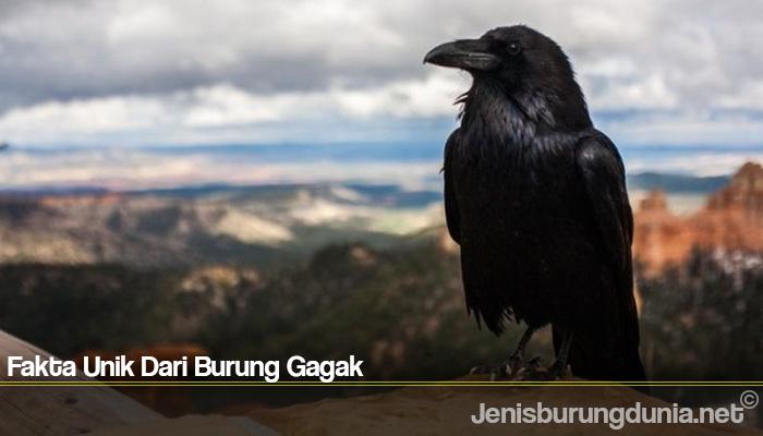 Fakta Unik Dari Burung Gagak